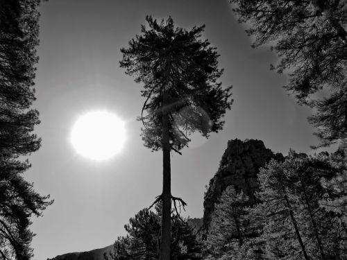 black white tree
