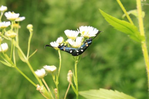 black butterfly copulation