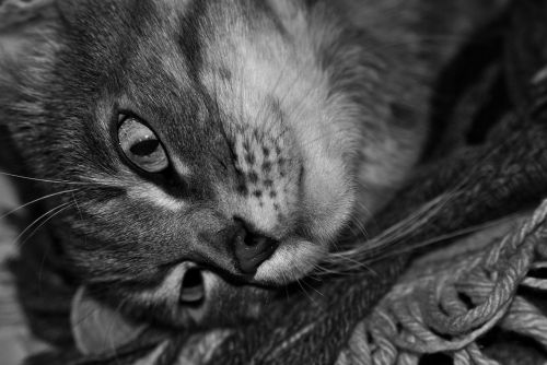 black and white cat pet