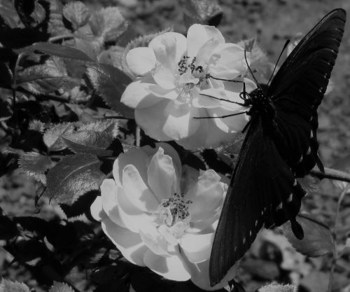 black and white,black,butterfly,roses,flowers