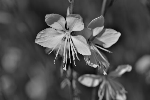 black and white flower blossom