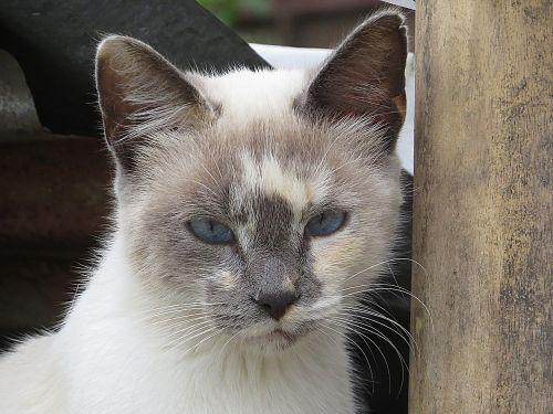 black and white cat feline