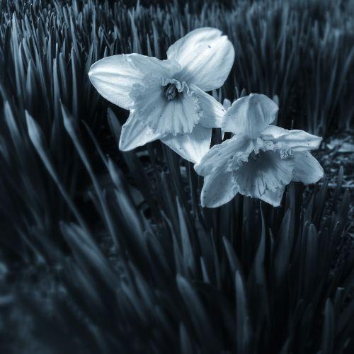 black and white,flowers,white,black,black and white background,nature,floral,blossom,spring,bloom,plant,garden,petal,leaf