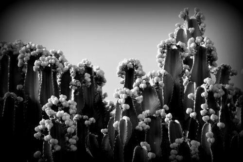 black and white cactus prickly pear