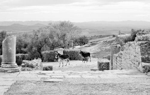 black and white romans donkeys
