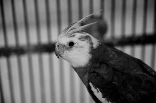 cockatiel, juoda & nbsp, balta, paukštis, profilis, šūvis į galvą, akis, Patinas, plunksnos, gyvūnas, juoda ir balta paukštis