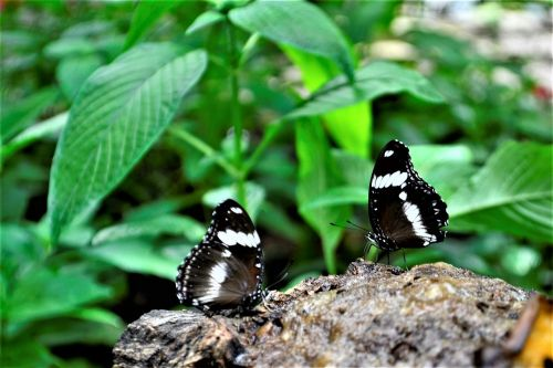 black and white butterflies flower nature