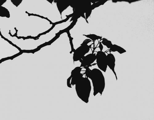 Black And White Cluster Of Leaves
