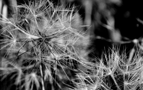 Black And White Dandelions