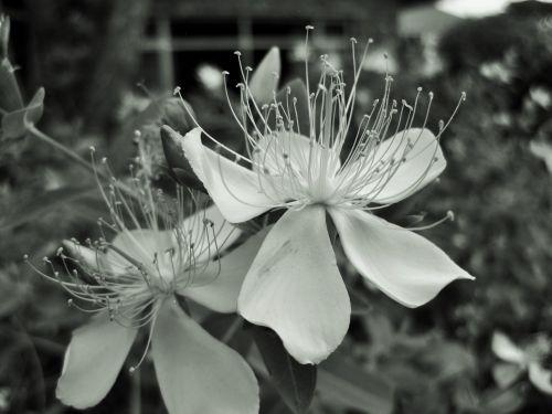 Black And White Hypericum Flower