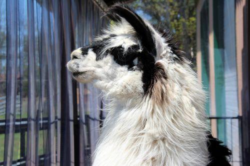 Black & White Llama