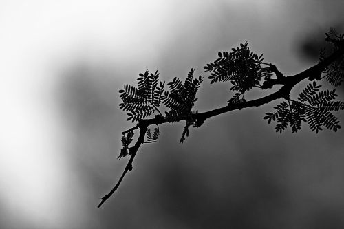 Black And White Thorn Tree Branch