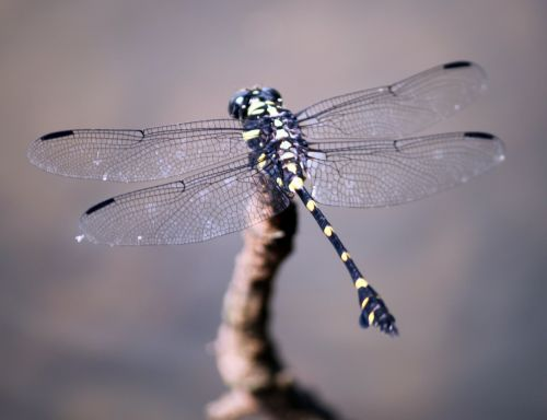 Black And Yellow Dotted Dragonfly