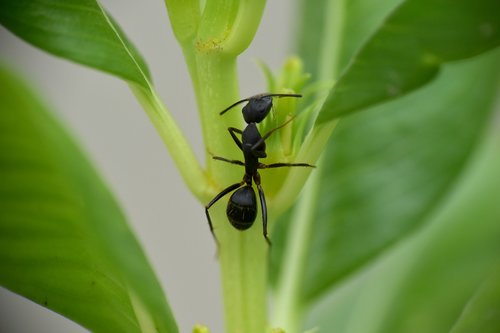 black ant  insect  garden ant