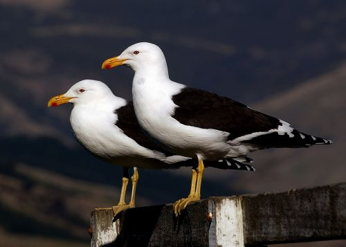 black-backed seagulls perched birds