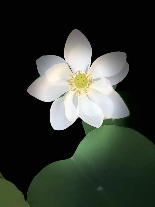 black background  lotus  outstanding