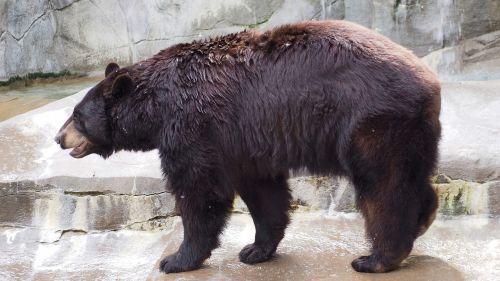 black bear bear black