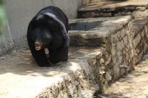 black bear indian bear omnivore