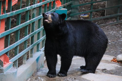 black bear black bear