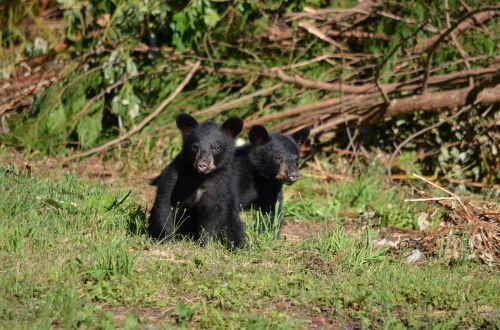 black bear bear cubs