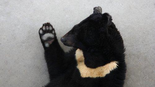 black bear  asian black bear  on the bear