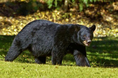 black bear bear louisiana