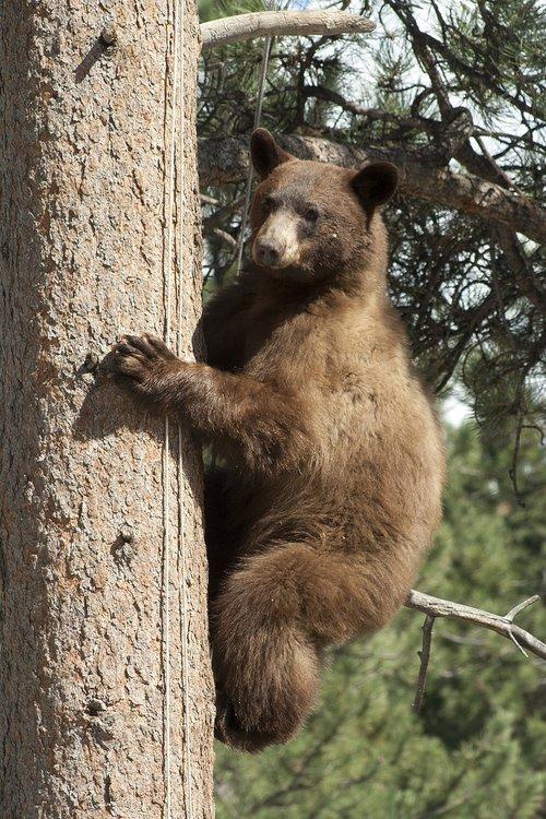 black bear in tree  bear  wildlife