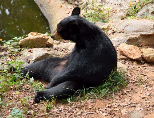 Black Bear Sitting