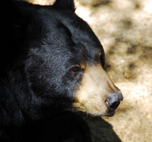 Black Bear Up Close