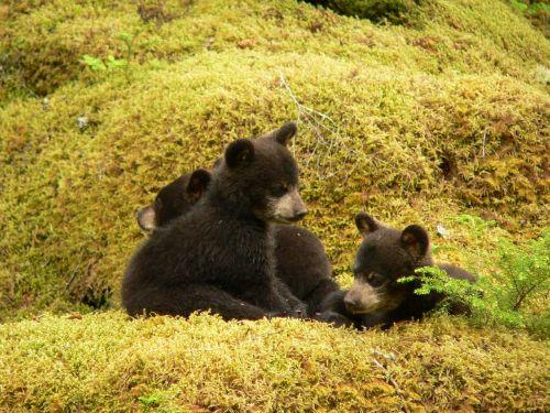 black bears cubs playing