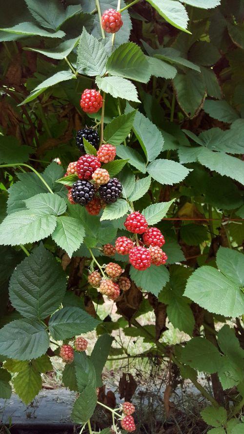 black berries berries healthy