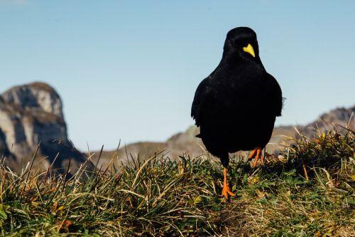black bird yellow beak black