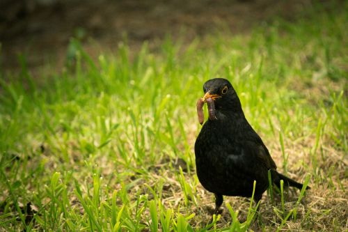 black bird worm bird