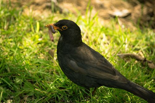 black bird worm eating