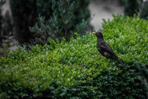 black bird bird nature