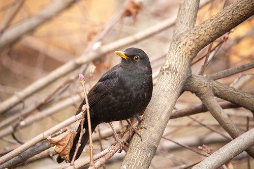 black bird  bird  nature