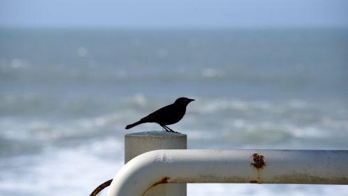 Black Bird On A White Pipe