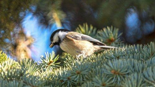 black cap chickadee  birds  sparrow
