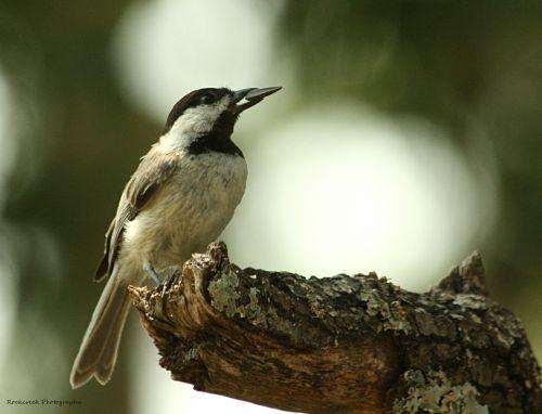 Black-capped Chickadee 2