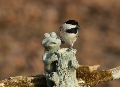 Black-capped Chickadee And Frog