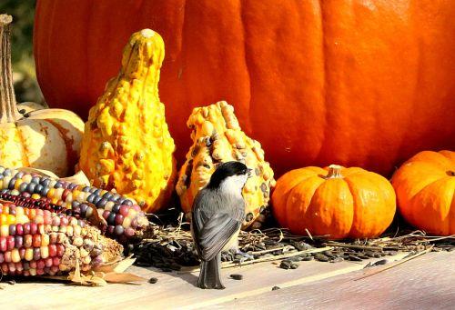 Black-capped Chickadee And Pumpkins