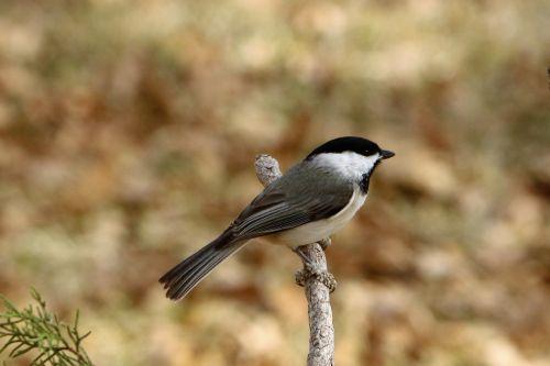Black-capped Chickadee On Branch