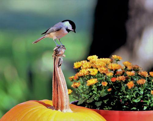 Black-capped Chickadee On Pumpkin