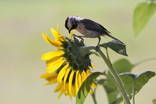 Black-capped Chickadee On Sunflower