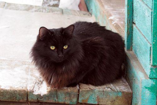black cat dacha animals