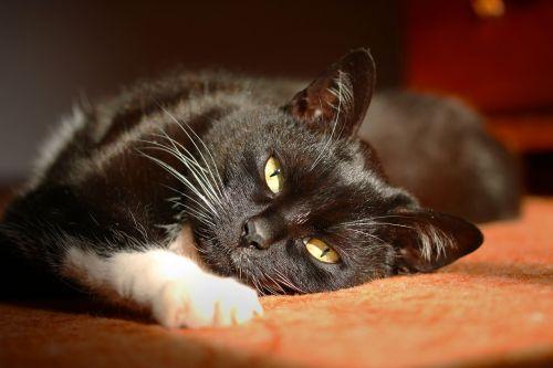 black cat stare pet