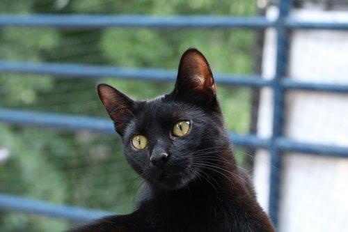 black cat  mammal  animal