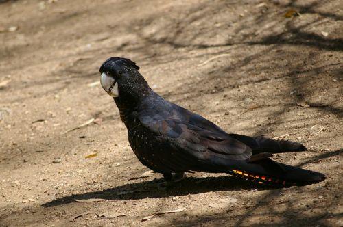 black cockatoo bird birds