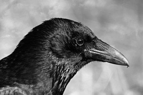 black crow  bird  animal