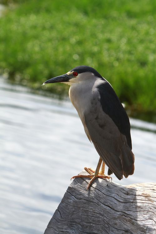 black-crowned night heron bird heron